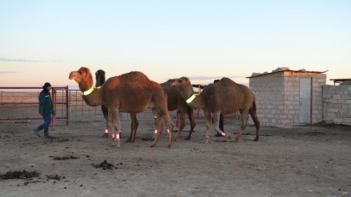 Сверкать в свете фар будут верблюды в Мангистауской области