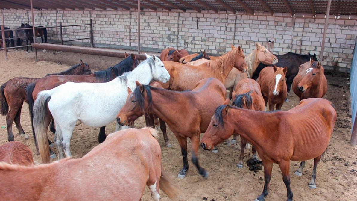 Лошадей отправили на штрафстоянку в Мангистауской области