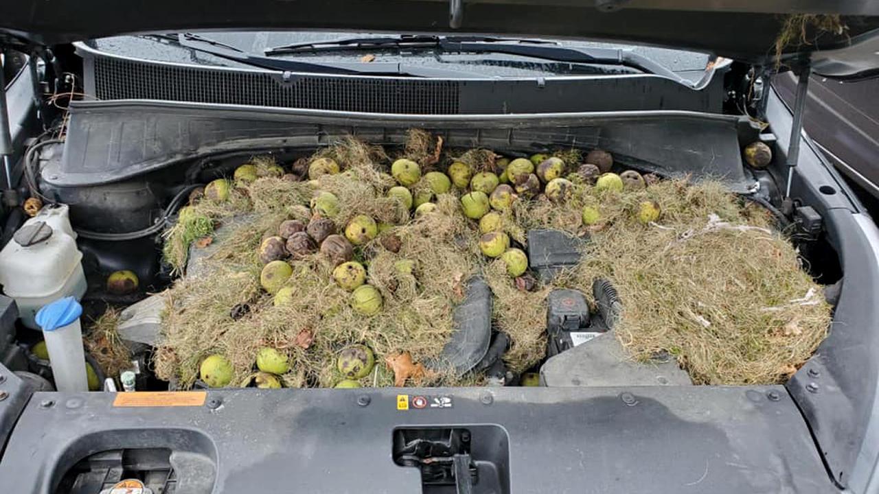 Белки устроили кладовку с орехами под капотом Kia Sorento