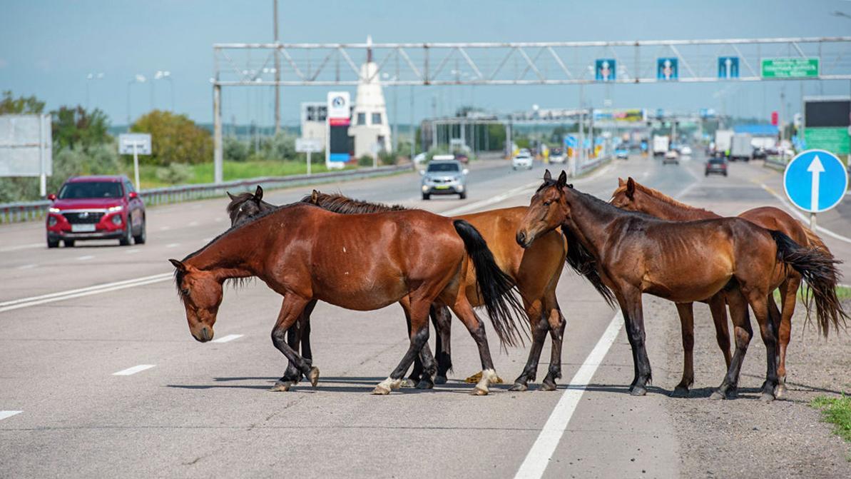 Mercedes-Benz сбил табун лошадей в Жамбылской области