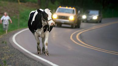Greenpeace: коровы портят воздух сильнее машин