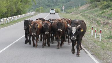 Коров на казахстанских трассах будут отпугивать ультразвуком