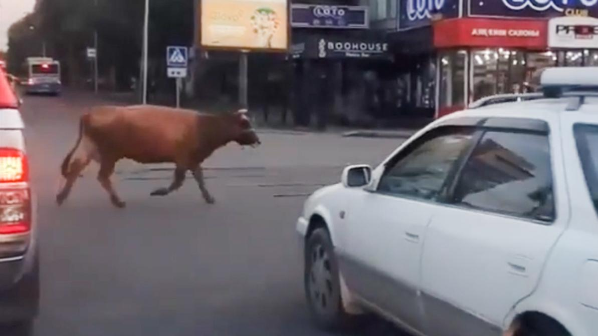 Гуляющая в центре Алматы корова попала на видео