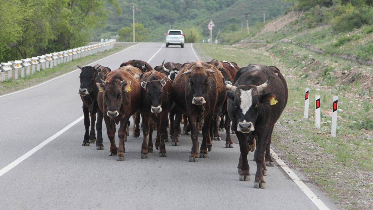 cows-main-1