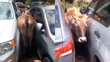 Корова застряла между машинами в Алматы