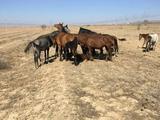 Лошадей (Кобыл) меняю на авто в Кордай