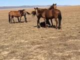 Лошадей (Кобыл) меняю на авто в Кордай – фото 2