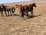 Лошадей (Кобыл) меняю на авто в Кордай – фото 3